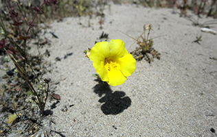 rare plant species monkeyflower
